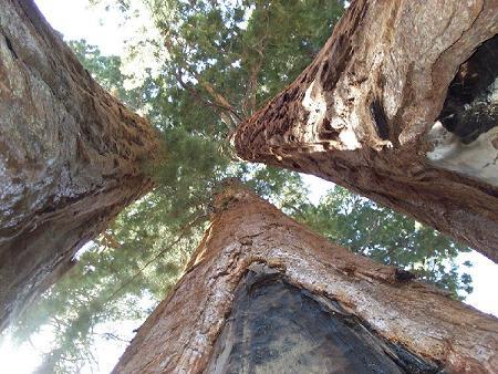 La diminution du brouillard sur la côte californienne menace les séquoias